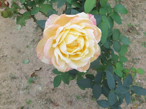 20151011_rose10